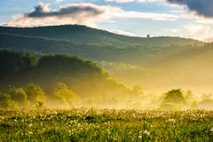 Dandelion field at foggy sunrise in mountains. Dandelion field in foggy valley. countryside landscape in mountains at sunrise. gorgeous springtime weather Royalty Free Stock Photography