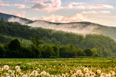 Dandelion field at foggy sunrise in mountains. Dandelion field in foggy valley. countryside landscape in mountains at sunrise. gorgeous springtime weather Royalty Free Stock Images