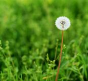 Dandelion in a field of green royalty free stock image