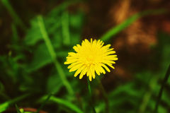 Dandelion in a field of green grass Stock Image