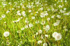 Dandelion field. Green dandelion field with many blowballs in springtime Royalty Free Stock Images
