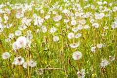 Dandelion field. Green dandelion field with many blowballs in springtime Stock Photo