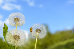 Dandelion on field royalty free stock photography