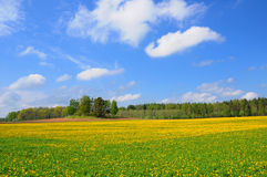 Dandelion field, Latvia Royalty Free Stock Photos