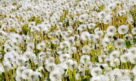 Dandelion field. Flowers background. Spring royalty free stock images