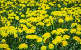 Dandelion field meadow grass green flowers yellow background royalty free stock photos
