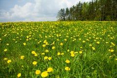 Dandelion field near  forest Stock Photography
