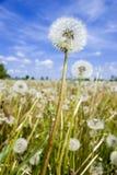 Dandelion field over blue sky Stock Photos
