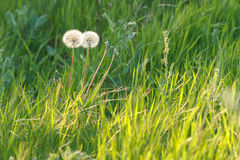 Dandelion in the field. A pair of dandelions in the middle of green grass on the field Stock Images