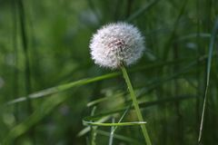 Dandelion. Dandelion in field.Selective focus and small depth of field Royalty Free Stock Photography