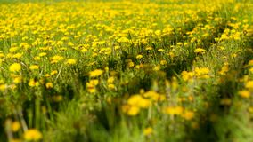 Dandelion field with shadows. Yellow blossom of dandelions in strong day light Royalty Free Stock Images