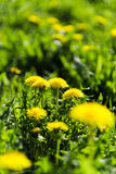 Dandelion field. Royalty Free Stock Photography