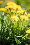 Dandelion field. Royalty Free Stock Photo