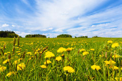 Dandelion field in spring Royalty Free Stock Photography