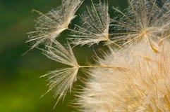 Dandelion on field in spring Stock Image