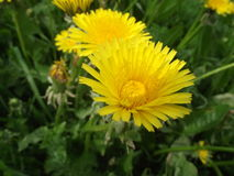 Dandelion field. Dandelion in the spring garden Royalty Free Stock Photography