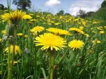 Dandelion field. Dandelion in the spring garden royalty free stock photos