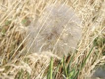 Dandelion in the field stock photography