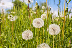 Dandelion Field Summer Royalty Free Stock Photography