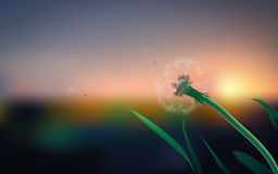 Dandelion on the field in summer. Macro dandelion field on a summer evening Stock Photography