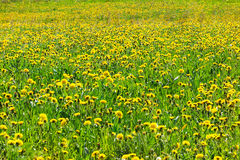 Dandelion field. On a sunny day royalty free stock photography