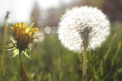 Dandelion in a field in sunny day Stock Photo