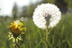 Dandelion in a field in sunny day Royalty Free Stock Image