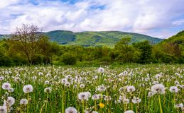 Dandelion field at sunrise in mountains. Dandelion field in rural valley. countryside landscape in mountains at sunrise. gorgeous springtime weather Stock Photography