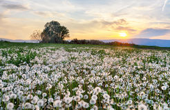 Dandelion field at sunset Stock Photo