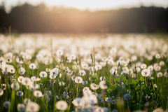 Dandelion field at sunset Stock Photo