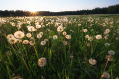 Dandelion field at sunset Royalty Free Stock Photo