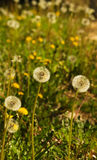 Dandelion field - Taraxacum sp Royalty Free Stock Photography