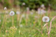 Dandelion field with text space. One dandelion in the foreground framing a background of a blurred green field suitable for copy space showing nobody. The Royalty Free Stock Photo