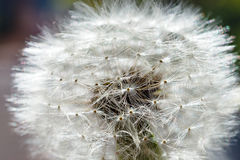 Dandelion field. The tip field of a dandelion covered with dew drops. Macro photo of a dandelion close up. Royalty Free Stock Photo