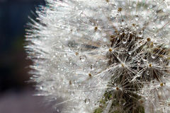 Dandelion field. The tip field of a dandelion covered with dew drops. Macro photo of a dandelion close up. Photo of a dandelion on Royalty Free Stock Photo