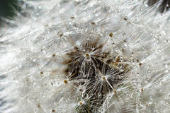 Dandelion field. The tip field of a dandelion covered with dew drops. Macro photo of a dandelion close up. Photo of a dandelion. Stock Photography