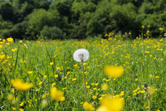 Dandelion in the field. Dandelion to the field and yellow flowers Stock Photography