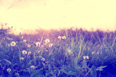 Dandelion field with wild flowers in sunset Royalty Free Stock Image