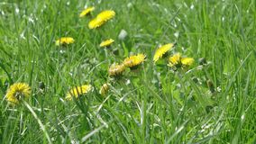 Dandelion field. In the wind footage stock footage
