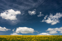 Dandelion field. Yellow dandelion covering a field against fluffy white clouds on sky Royalty Free Stock Images
