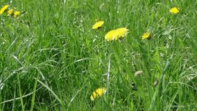 Dandelion field. Yellow Dandelions closeup. Field full of Dandelion footage stock video
