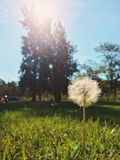 Dandelion in the fields Stock Photography