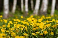 Dandelion fields Royalty Free Stock Photography
