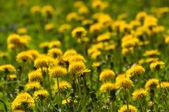 Dandelion fields Stock Photography