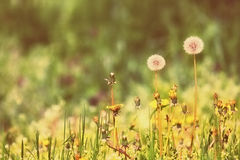 Dandelion filed Royalty Free Stock Images