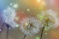 Dandelion filed. Dandelion field with textured background Stock Photos