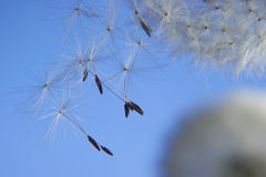 Dandelion flakes. Flying away Stock Photos