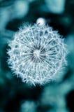 Dandelion flawor Stock Images