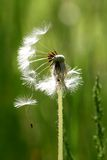 Dandelion almost flew. Fluff hanging on almost deflorate dandelion Stock Photography