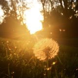 Dandelion float. Sunset warm drifting seeds Royalty Free Stock Photos